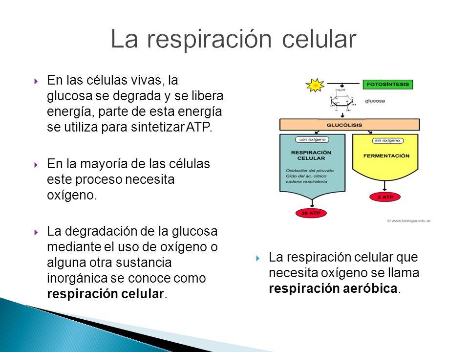 En las células vivas, la glucosa se degrada y se libera energía, parte de esta energía se utiliza para sintetizar ATP.
