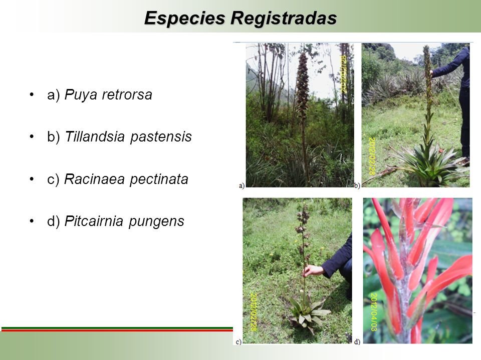 Especies Registradas a) Puya retrorsa b) Tillandsia pastensis c) Racinaea pectinata d) Pitcairnia pungens