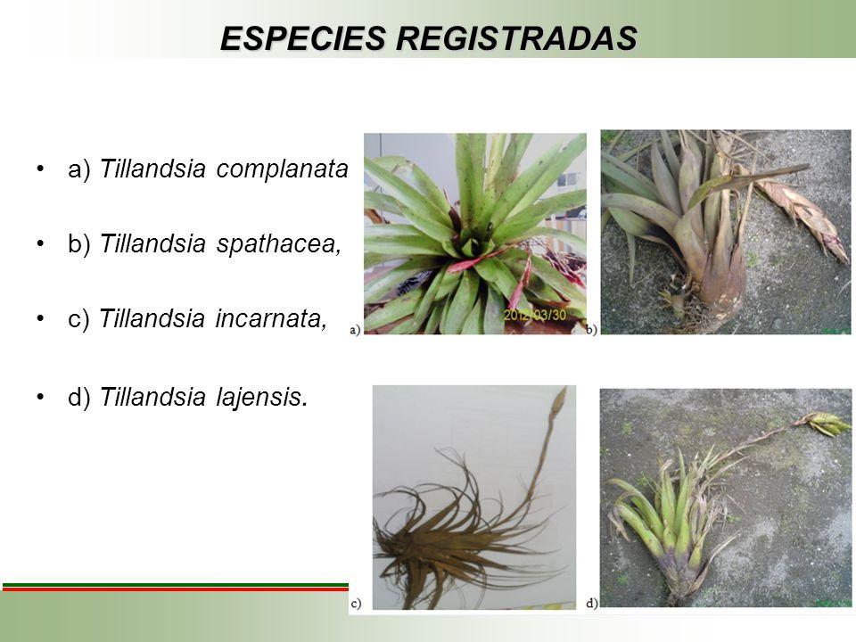 ESPECIES REGISTRADAS a) Tillandsia complanata b) Tillandsia spathacea, c) Tillandsia incarnata, d) Tillandsia lajensis.
