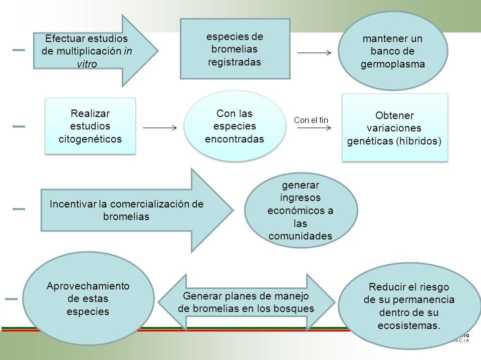 Efectuar estudios de multiplicación in vitro especies de bromelias registradas mantener un banco de germoplasma Realizar estudios citogenéticos Con la