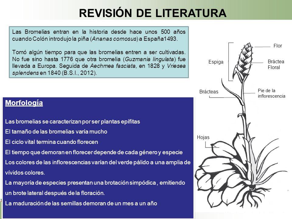 REVISIÓN DE LITERATURA Espiga Bráctea Floral Hojas Brácteas Flor Pie de la inflorescencia Las Bromelias entran en la historia desde hace unos 500 años cuando Colón introdujo la piña (Ananas comosus) a España1493.