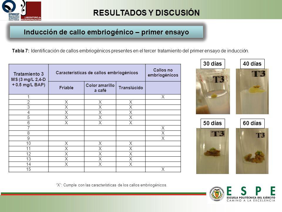 RESULTADOS Y DISCUSIÓN Tabla 7: Identificación de callos embriogénicos presentes en el tercer tratamiento del primer ensayo de inducción. Tratamiento