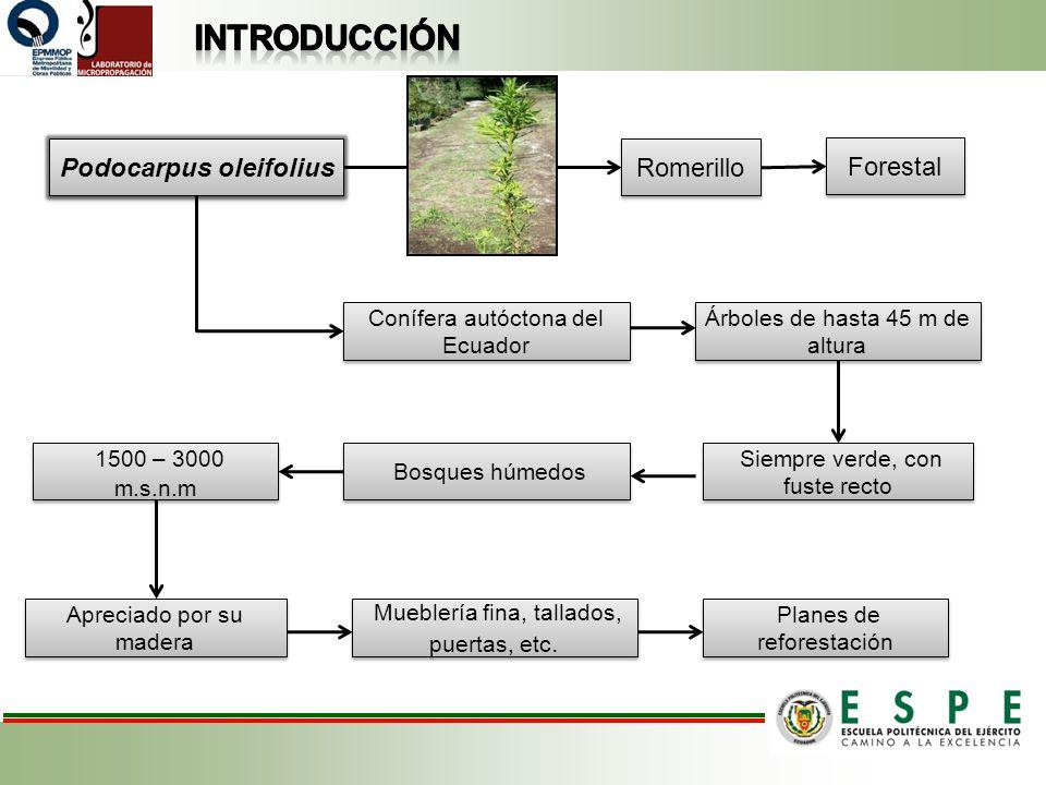 Podocarpus oleifolius Romerillo Conífera autóctona del Ecuador Árboles de hasta 45 m de altura Bosques húmedos Apreciado por su madera 1500 – 3000 m.s