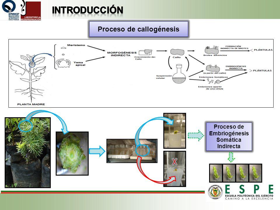 Proceso de callogénesis Proceso de Embriogénesis Somática Indirecta