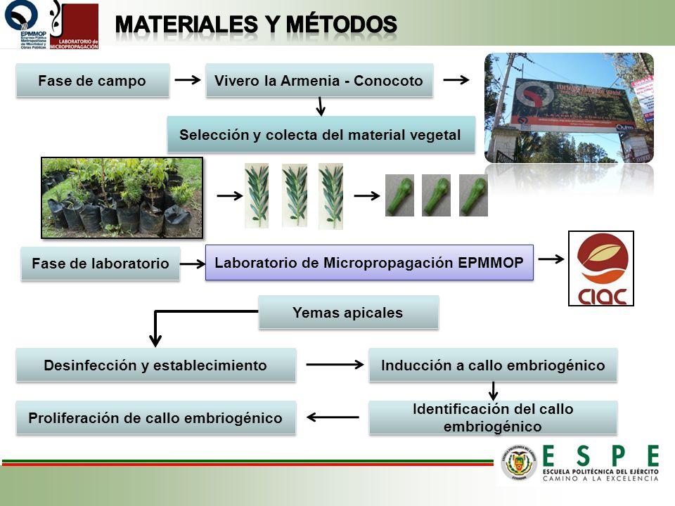 Vivero la Armenia - Conocoto Selección y colecta del material vegetal Laboratorio de Micropropagación EPMMOP Fase de campo Fase de laboratorio Yemas a
