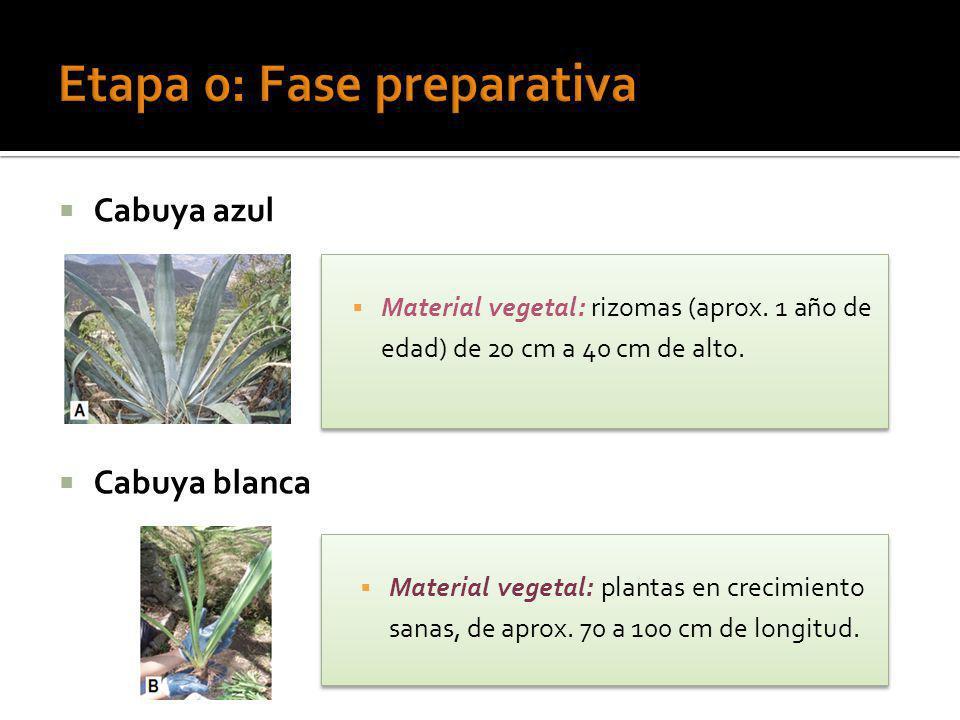 Cabuya azul Cabuya blanca Material vegetal: plantas en crecimiento sanas, de aprox. 70 a 100 cm de longitud. Material vegetal: rizomas (aprox. 1 año d