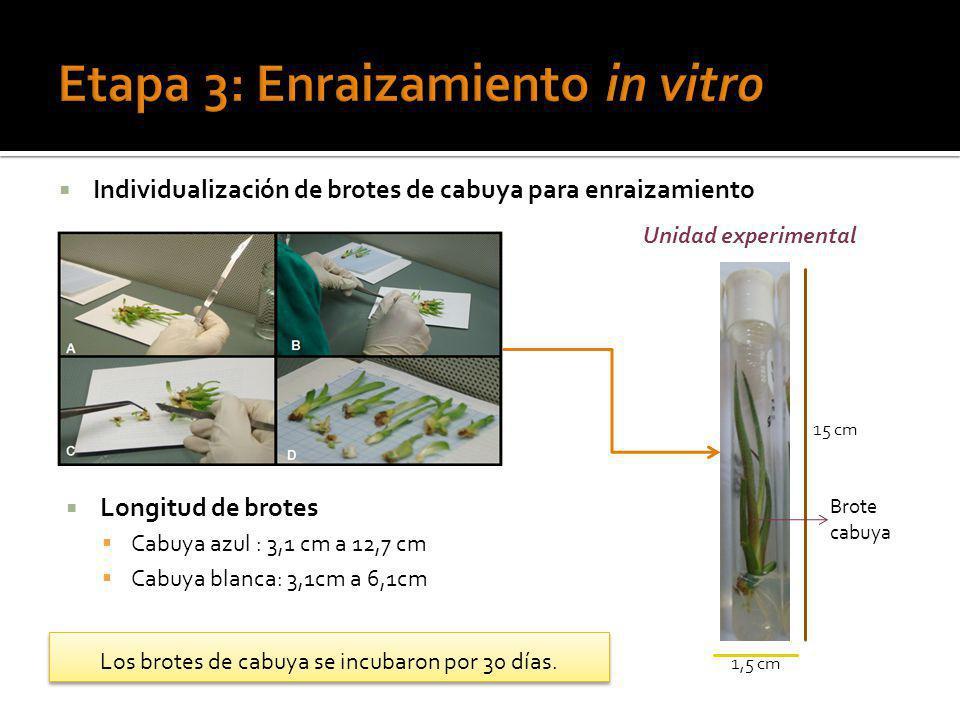 Individualización de brotes de cabuya para enraizamiento Longitud de brotes Cabuya azul : 3,1 cm a 12,7 cm Cabuya blanca: 3,1cm a 6,1cm Los brotes de