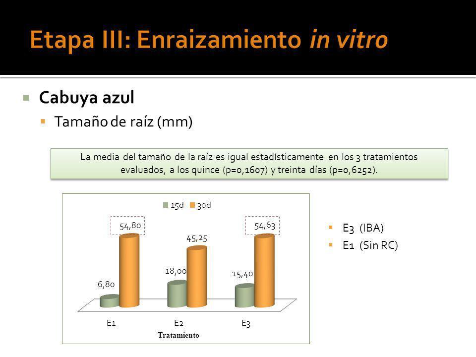 Cabuya azul Tamaño de raíz (mm) La media del tamaño de la raíz es igual estadísticamente en los 3 tratamientos evaluados, a los quince (p=0,1607) y tr