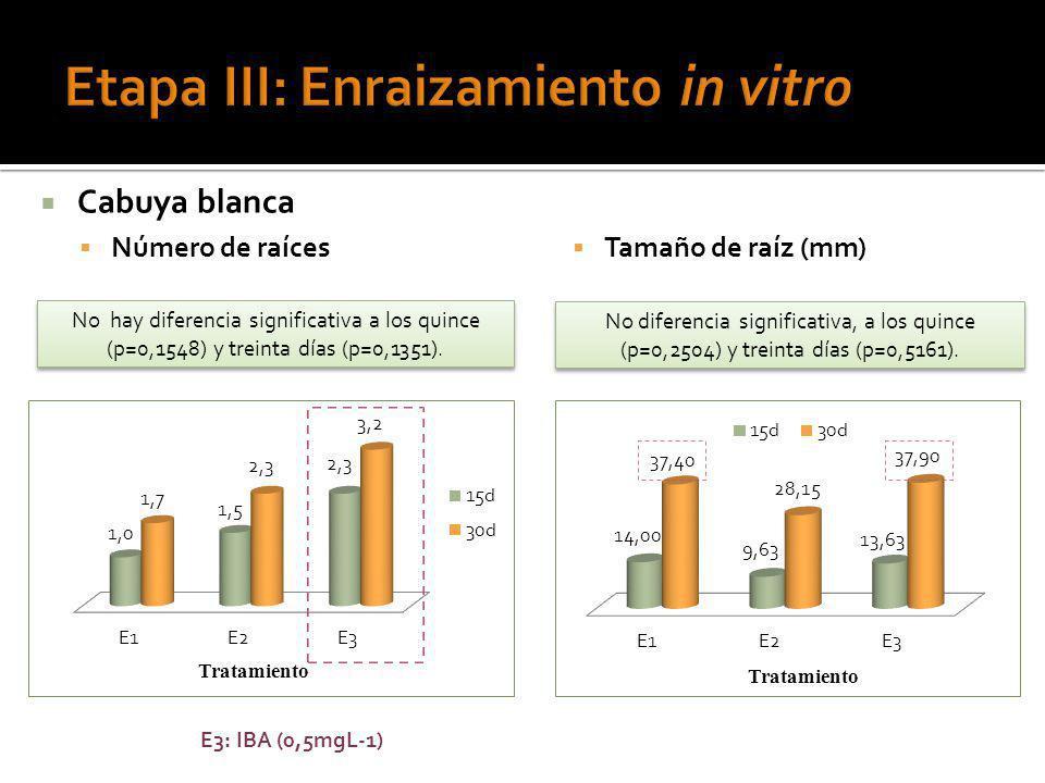Cabuya blanca Número de raíces No hay diferencia significativa a los quince (p=0,1548) y treinta días (p=0,1351). E3: IBA (0,5mgL-1) Tamaño de raíz (m