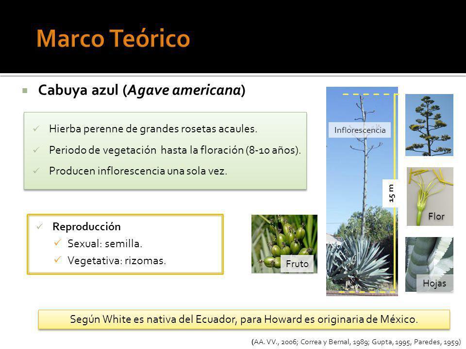 Cabuya azul (Agave americana) Hierba perenne de grandes rosetas acaules. Periodo de vegetación hasta la floración (8-10 años). Producen inflorescencia