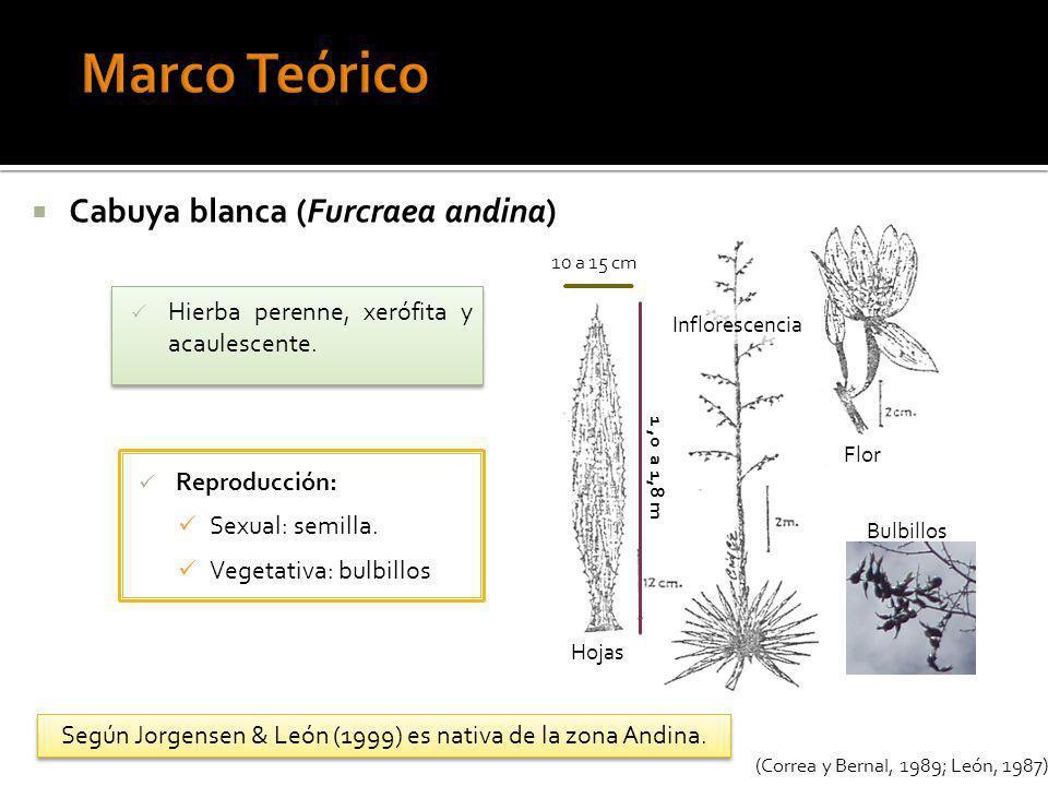 Hierba perenne, xerófita y acaulescente. Cabuya blanca (Furcraea andina) (Correa y Bernal, 1989; León, 1987) Inflorescencia Hojas 1,0 a 1,8 m 10 a 15
