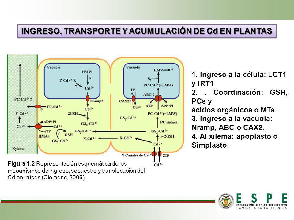 INGRESO, TRANSPORTE Y ACUMULACIÓN DE Cd EN PLANTAS 1. Ingreso a la célula: LCT1 y IRT1 2.. Coordinación: GSH, PCs y ácidos orgánicos o MTs. 3. Ingreso