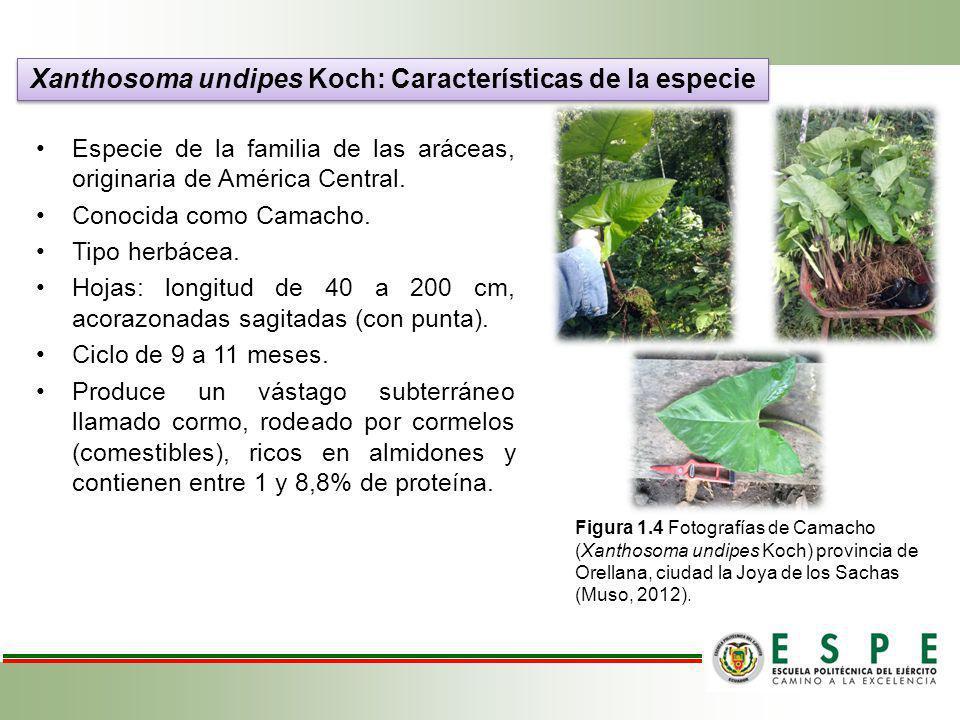 Especie de la familia de las aráceas, originaria de América Central. Conocida como Camacho. Tipo herbácea. Hojas: longitud de 40 a 200 cm, acorazonada