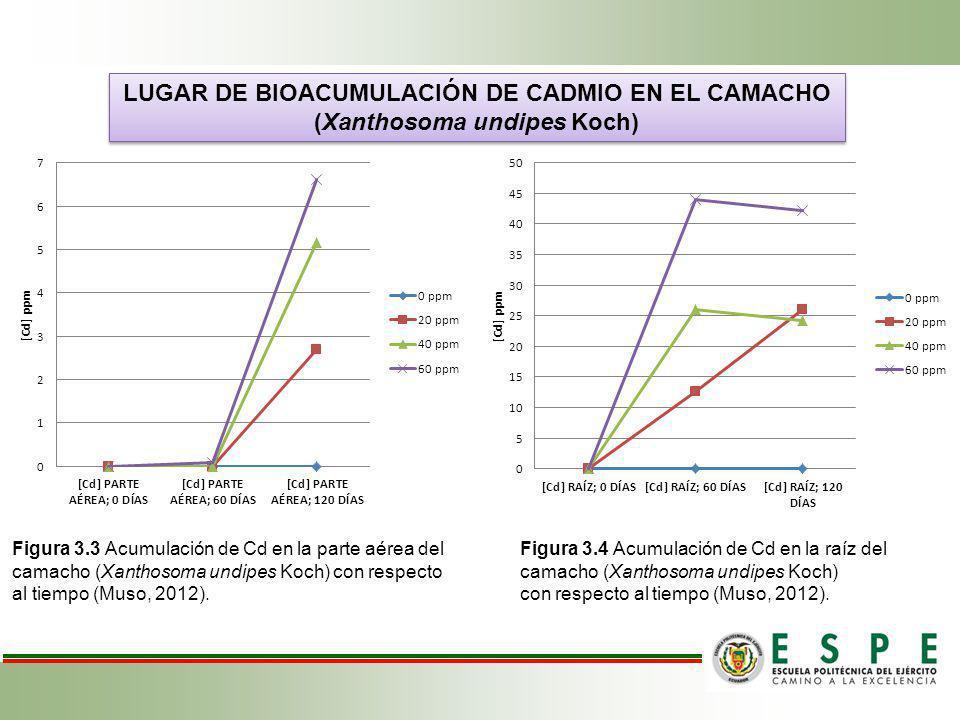 LUGAR DE BIOACUMULACIÓN DE CADMIO EN EL CAMACHO (Xanthosoma undipes Koch) LUGAR DE BIOACUMULACIÓN DE CADMIO EN EL CAMACHO (Xanthosoma undipes Koch) Fi