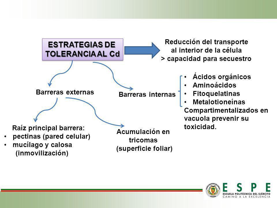 ESTRATEGIAS DE TOLERANCIA AL Cd ESTRATEGIAS DE TOLERANCIA AL Cd Reducción del transporte al interior de la célula > capacidad para secuestro Raíz prin