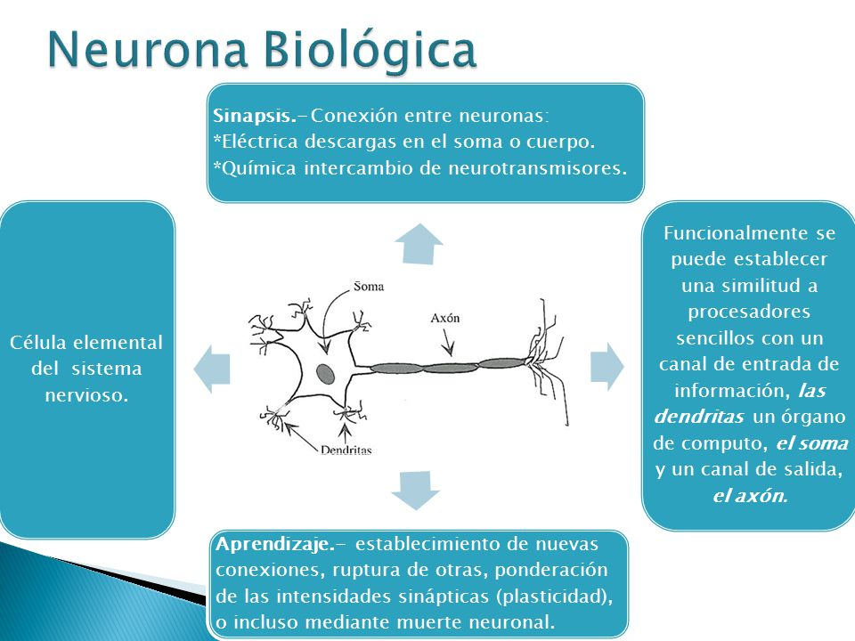 Sinapsis.- Conexión entre neuronas: *Eléctrica descargas en el soma o cuerpo. *Química intercambio de neurotransmisores. Funcionalmente se puede estab