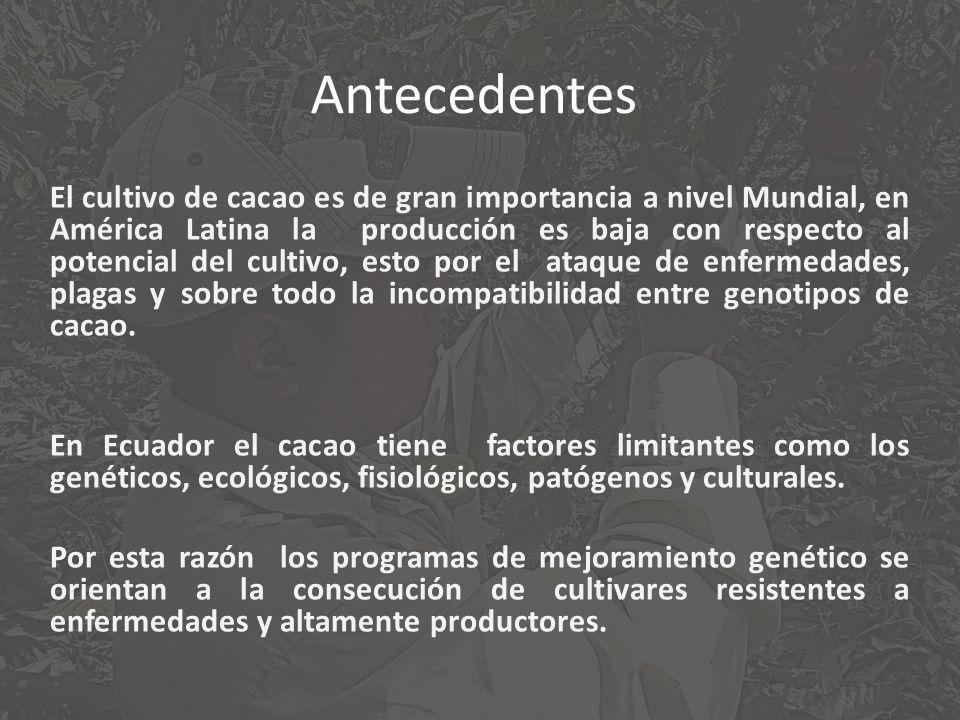 Antecedentes El cultivo de cacao es de gran importancia a nivel Mundial, en América Latina la producción es baja con respecto al potencial del cultivo