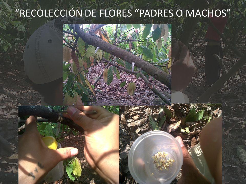 RECOLECCIÓN DE FLORES PADRES O MACHOS