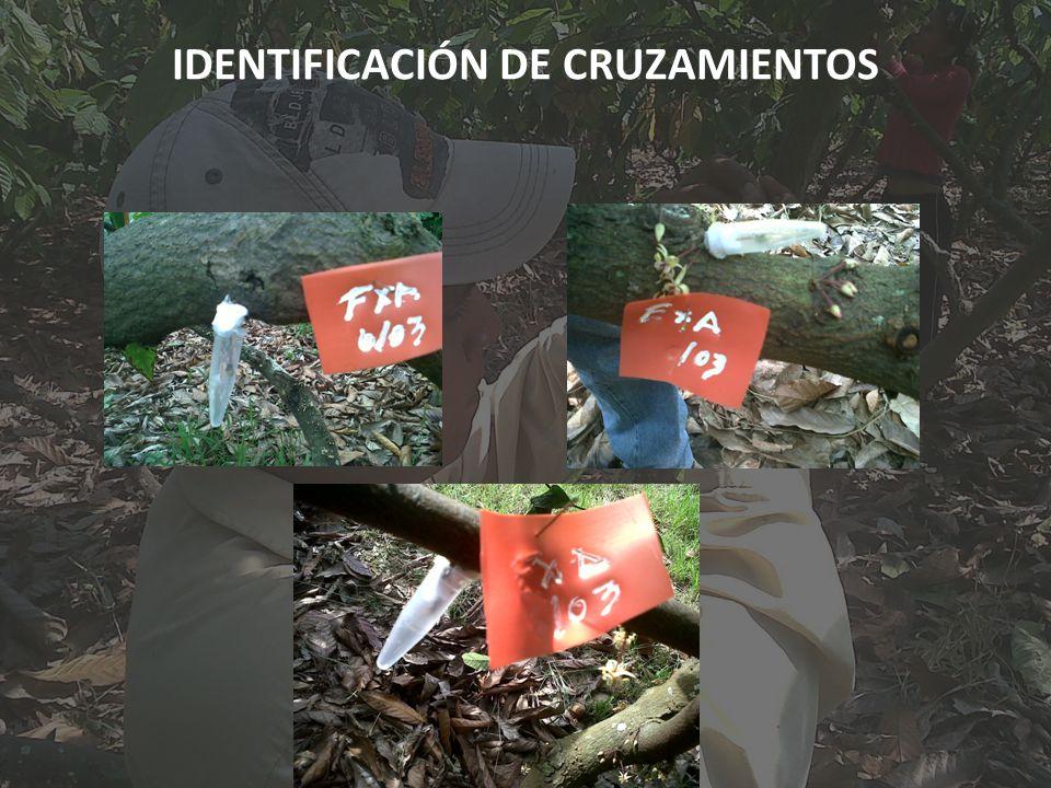 IDENTIFICACIÓN DE CRUZAMIENTOS