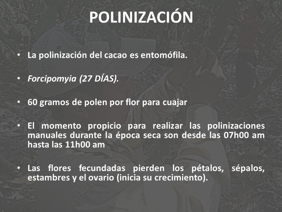 POLINIZACIÓN La polinización del cacao es entomófila. Forcipomyia (27 DÍAS). 60 gramos de polen por flor para cuajar El momento propicio para realizar