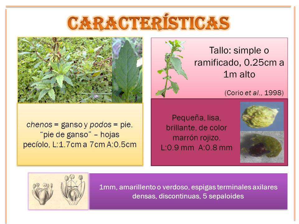 chenos = ganso y podos = pie. pie de ganso – hojas pecíolo, L:1.7cm a 7cm A:0.5cm chenos = ganso y podos = pie. pie de ganso – hojas pecíolo, L:1.7cm