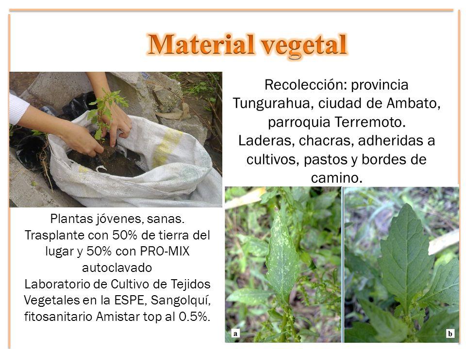 Recolección: provincia Tungurahua, ciudad de Ambato, parroquia Terremoto. Laderas, chacras, adheridas a cultivos, pastos y bordes de camino. Plantas j