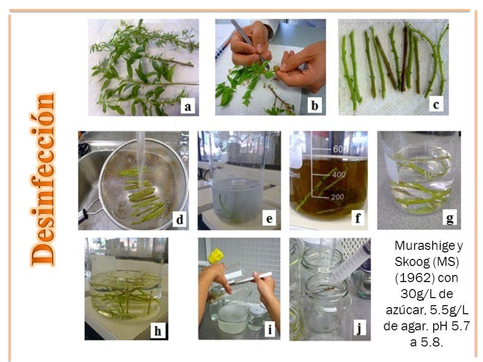 Murashige y Skoog (MS) (1962) con 30g/L de azúcar, 5.5g/L de agar. pH 5.7 a 5.8.