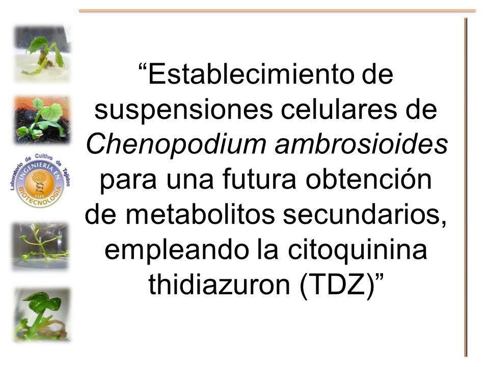 Establecimiento de suspensiones celulares de Chenopodium ambrosioides para una futura obtención de metabolitos secundarios, empleando la citoquinina t
