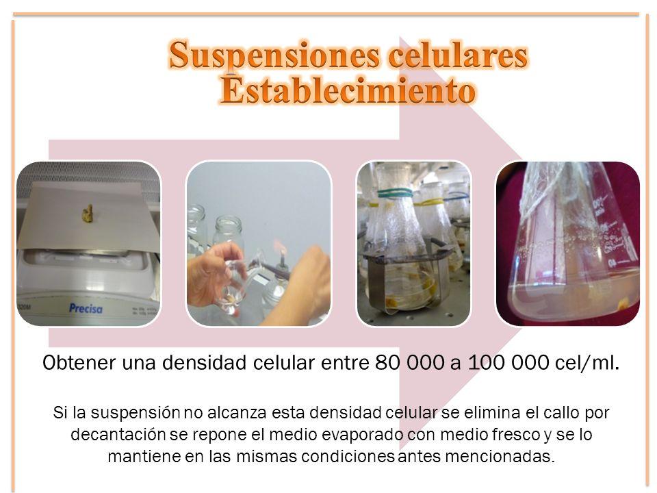 Obtener una densidad celular entre 80 000 a 100 000 cel/ml. Si la suspensión no alcanza esta densidad celular se elimina el callo por decantación se r