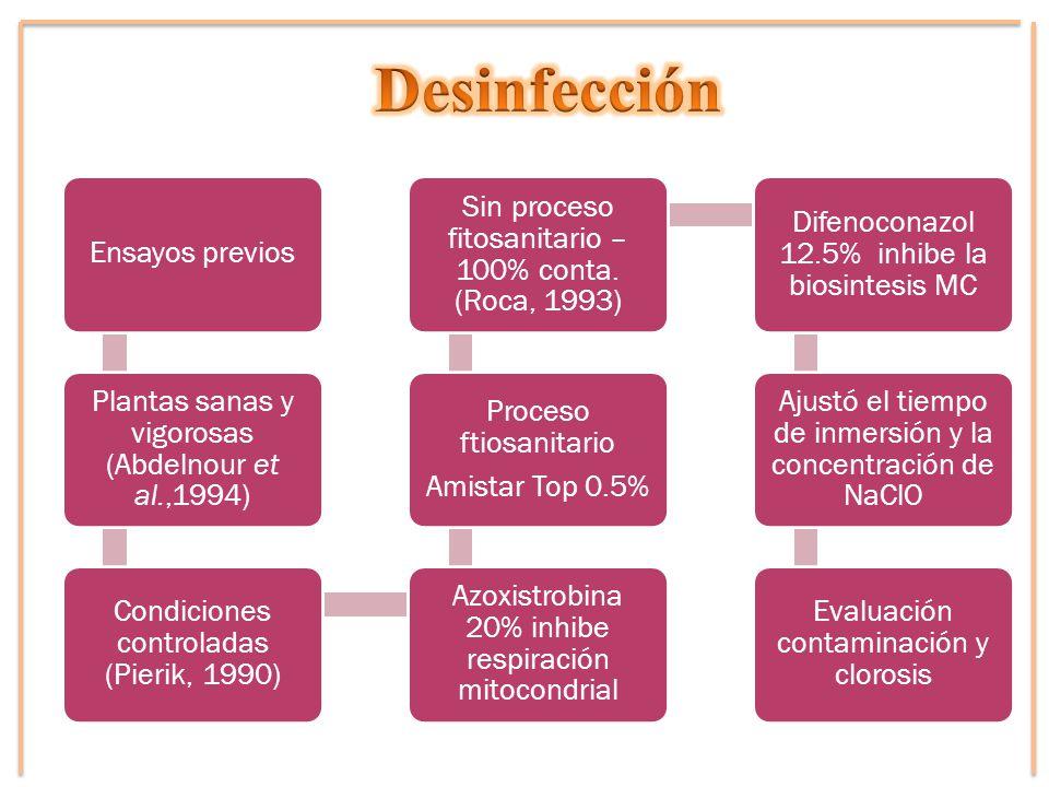 Ensayos previos Plantas sanas y vigorosas (Abdelnour et al.,1994) Condiciones controladas (Pierik, 1990) Azoxistrobina 20% inhibe respiración mitocond