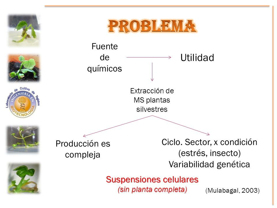 Fuente de químicos Utilidad Extracción de MS plantas silvestres Producción es compleja Ciclo. Sector, x condición (estrés, insecto) Variabilidad genét