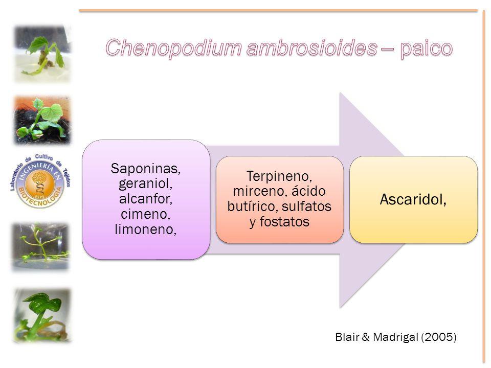 Saponinas, geraniol, alcanfor, cimeno, limoneno, Terpineno, mirceno, ácido butírico, sulfatos y fostatos Ascaridol, Blair & Madrigal (2005)