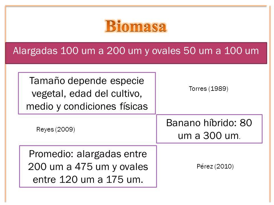 Alargadas 100 um a 200 um y ovales 50 um a 100 um Torres (1989) Tamaño depende especie vegetal, edad del cultivo, medio y condiciones físicas Reyes (2009) Banano híbrido: 80 um a 300 um.