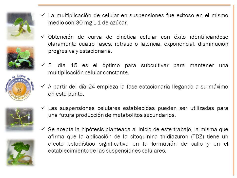 La multiplicación de celular en suspensiones fue exitoso en el mismo medio con 30 mg L-1 de azúcar. Obtención de curva de cinética celular con éxito i