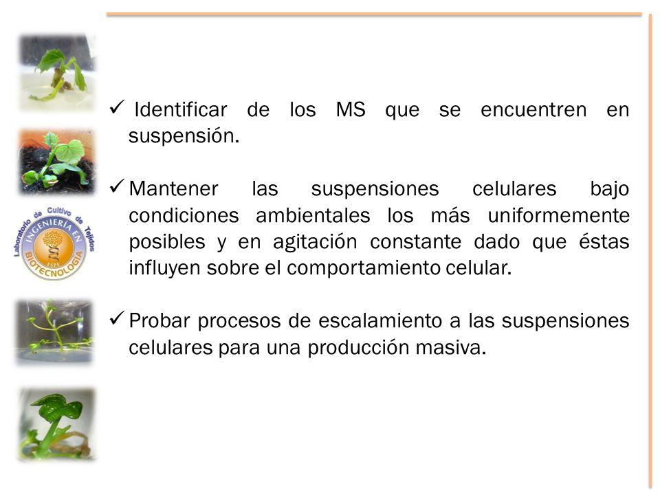 Identificar de los MS que se encuentren en suspensión. Mantener las suspensiones celulares bajo condiciones ambientales los más uniformemente posibles