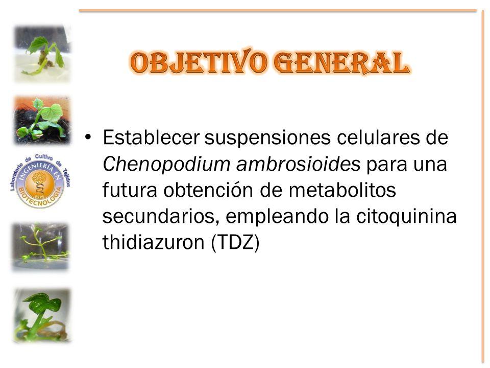 Establecer suspensiones celulares de Chenopodium ambrosioides para una futura obtención de metabolitos secundarios, empleando la citoquinina thidiazur
