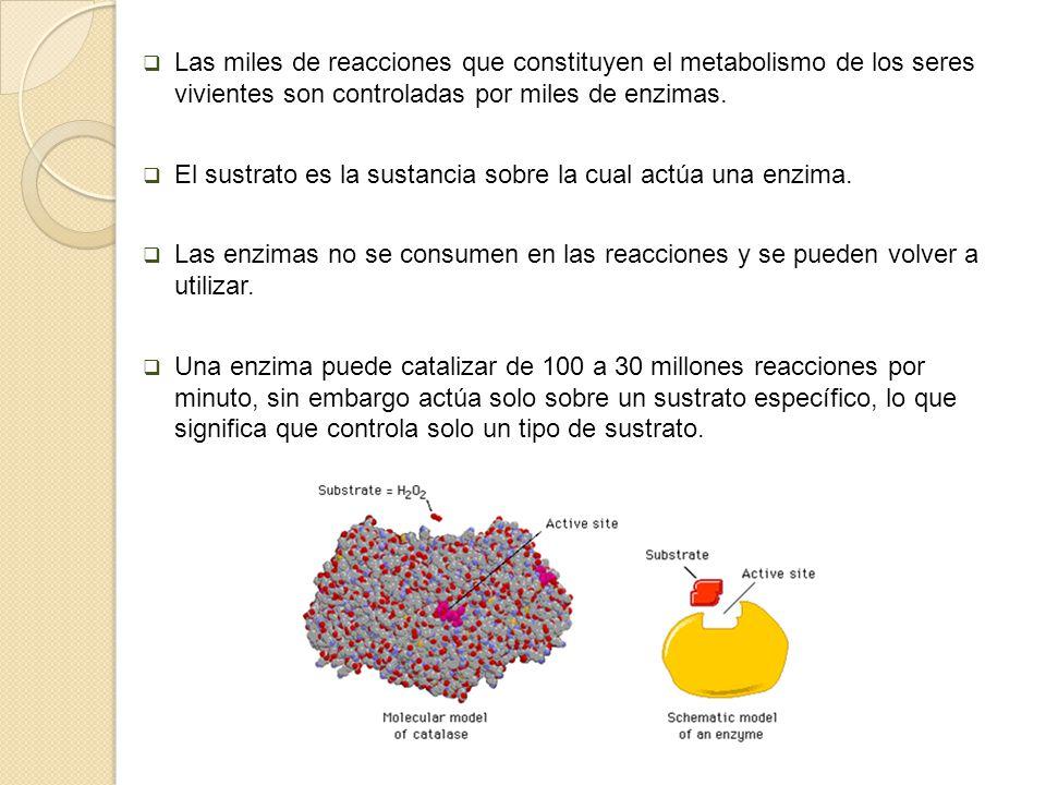 Las miles de reacciones que constituyen el metabolismo de los seres vivientes son controladas por miles de enzimas. El sustrato es la sustancia sobre