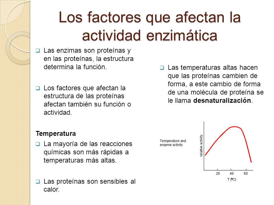 Los factores que afectan la actividad enzimática Las enzimas son proteínas y en las proteínas, la estructura determina la función. Los factores que af