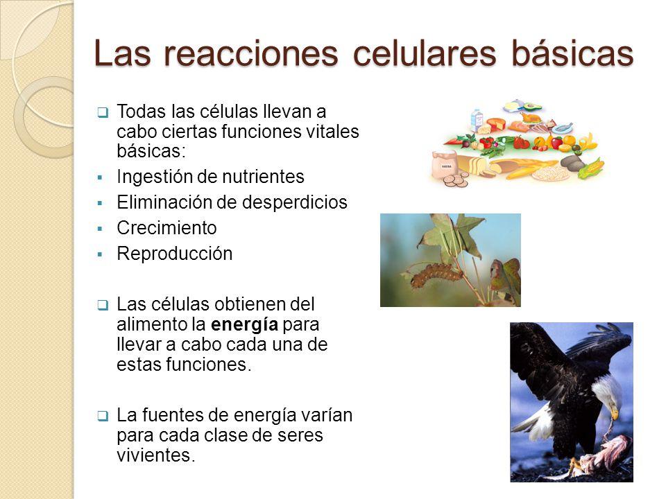 Las reacciones celulares básicas Todas las células llevan a cabo ciertas funciones vitales básicas: Ingestión de nutrientes Eliminación de desperdicio