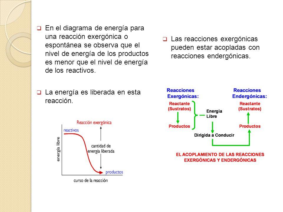 En el diagrama de energía para una reacción exergónica o espontánea se observa que el nivel de energía de los productos es menor que el nivel de energ