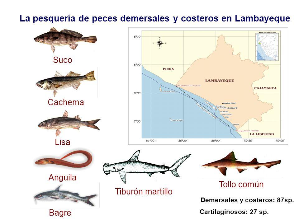 Suco Cachema Lisa Anguila Bagre Tiburón martillo Tollo común La pesquería de peces demersales y costeros en Lambayeque Demersales y costeros: 87sp. Ca