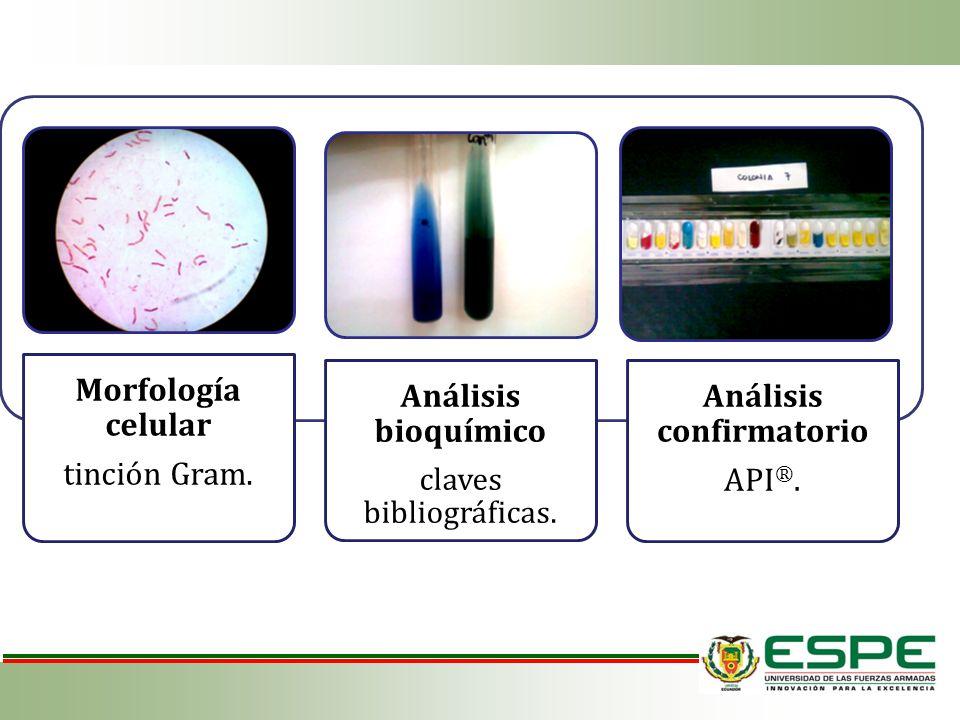 Morfología celular tinción Gram. Análisis bioquímico claves bibliográficas. Análisis confirmatorio API ®.