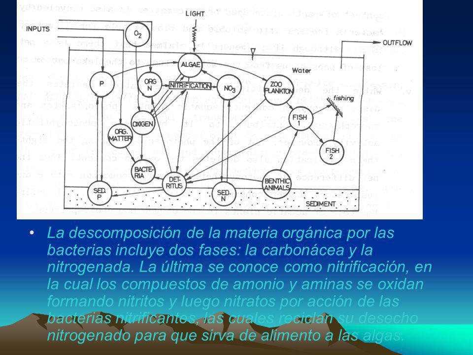 La descomposición de la materia orgánica por las bacterias incluye dos fases: la carbonácea y la nitrogenada. La última se conoce como nitrificación,