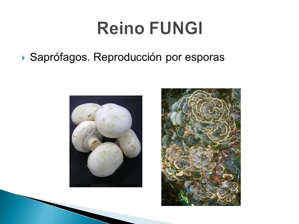 Saprófagos. Reproducción por esporas