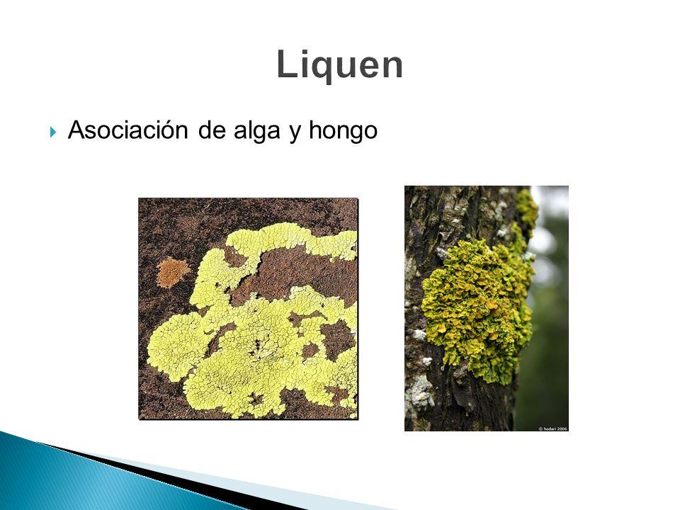 Asociación de alga y hongo
