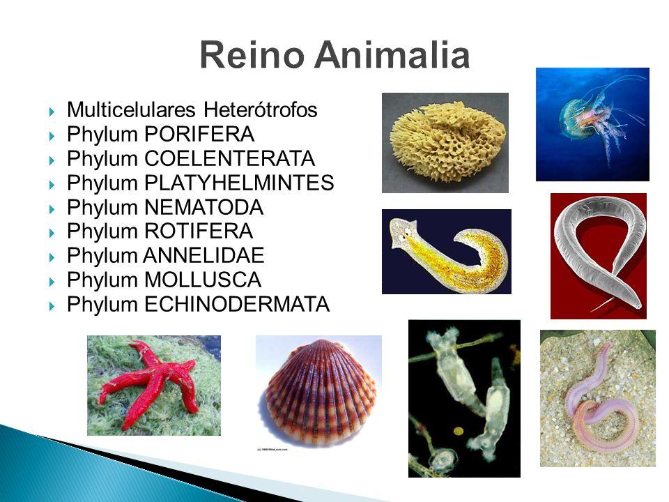 Multicelulares Heterótrofos Phylum PORIFERA Phylum COELENTERATA Phylum PLATYHELMINTES Phylum NEMATODA Phylum ROTIFERA Phylum ANNELIDAE Phylum MOLLUSCA Phylum ECHINODERMATA