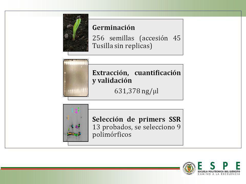 Germinación 256 semillas (accesión 45 Tusilla sin replicas) Extracción, cuantificación y validación 631,378 ng/µl Selección de primers SSR 13 probados, se selecciono 9 polimórficos