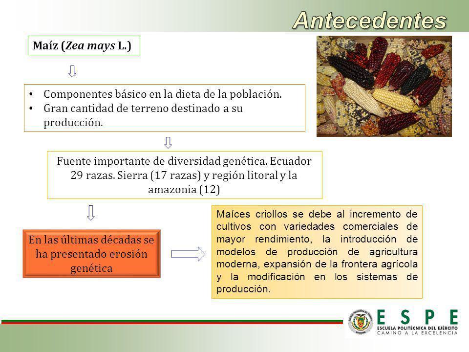 Maíz (Zea mays L.) Componentes básico en la dieta de la población.