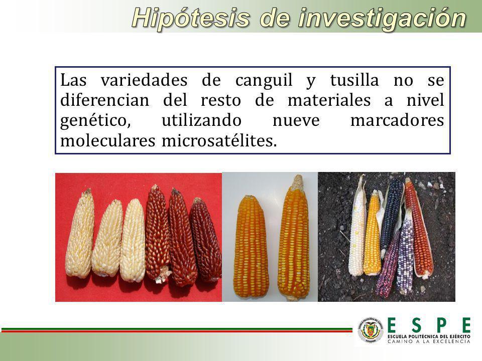 Las variedades de canguil y tusilla no se diferencian del resto de materiales a nivel genético, utilizando nueve marcadores moleculares microsatélites.