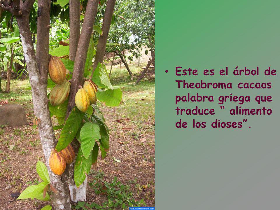 Este es el árbol de Theobroma cacaos palabra griega que traduce alimento de los dioses.